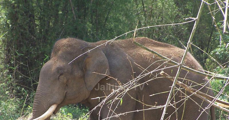 Elephant-Aralam